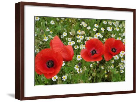 A Red Poppy Flowers-Frank May-Framed Art Print