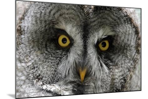 A Lapland-Great Gray Owl at the Zoo in Dortmunde--Mounted Photo