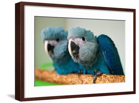 Two Brazilian Spix's Macaws, Two Month's Old, Said to Be the Rarest Parrot Species-Patrick Pleul-Framed Art Print