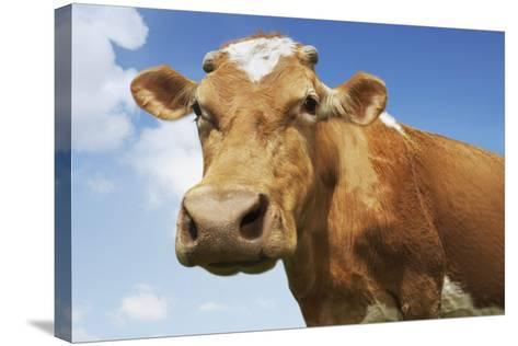 Close-Up Low Angle View of Brown Cow Against Blue Sky--Stretched Canvas Print