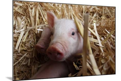 Three Piglets Sitting in the Straw--Mounted Photo