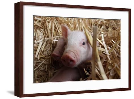 Three Piglets Sitting in the Straw--Framed Art Print