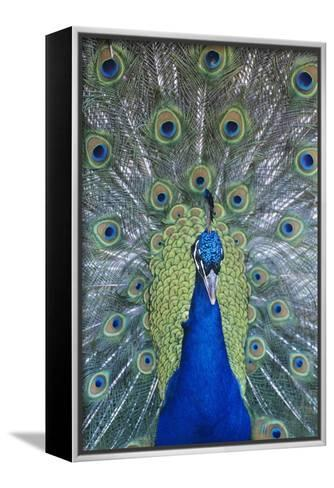 Peacock Displaying Feathers, Close-Up--Framed Canvas Print