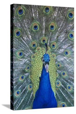 Peacock Displaying Feathers, Close-Up--Stretched Canvas Print