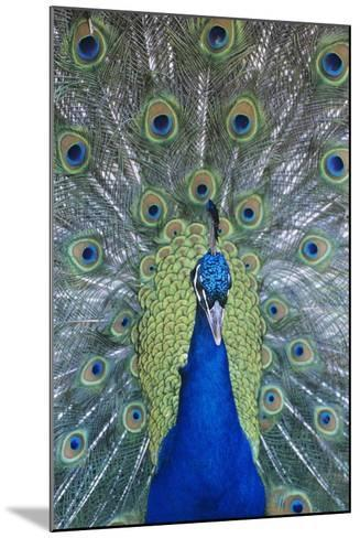 Peacock Displaying Feathers, Close-Up--Mounted Photo