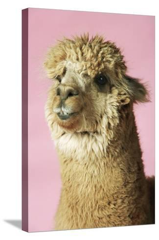 Alpaca on Pink Background, Close-Up of Head--Stretched Canvas Print