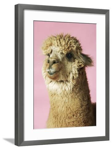 Alpaca on Pink Background, Close-Up of Head--Framed Art Print