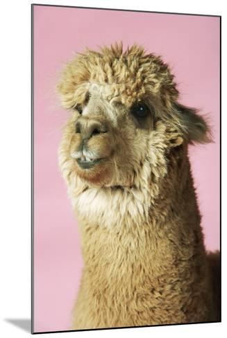 Alpaca on Pink Background, Close-Up of Head--Mounted Photo