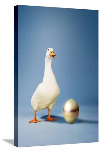 Goose Standing Beside Golden Egg, Studio Shot--Stretched Canvas Print