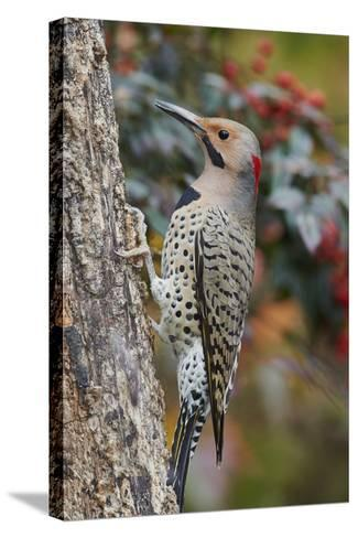 Northern Flicker-Gary Carter-Stretched Canvas Print