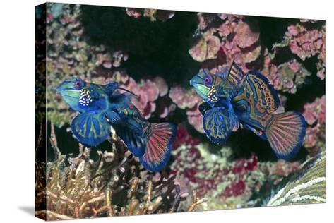 Mandarinfish Male and Female-Hal Beral-Stretched Canvas Print