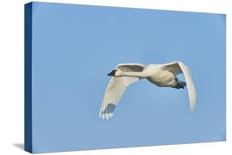 Tundra Swan-Gary Carter-Stretched Canvas Print