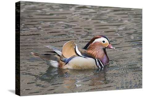 Mandarin Duck Drake-Hal Beral-Stretched Canvas Print