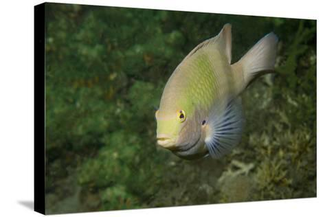 Black-Axil Chromis-Hal Beral-Stretched Canvas Print