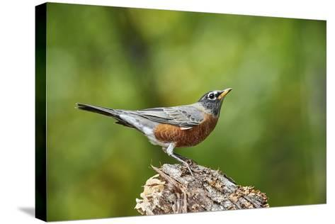 American Robin-Gary Carter-Stretched Canvas Print