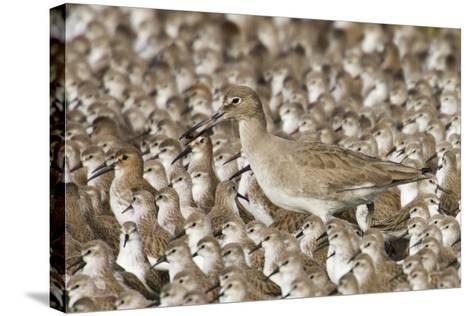 Willet with Shell in its Bill Surrounded by Western Sandpipers-Hal Beral-Stretched Canvas Print