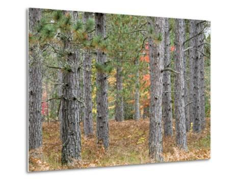 Fall Foliage and Pine Trees in the Forest.-Julianne Eggers-Metal Print