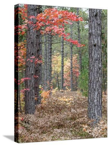 Fall Foliage and Pine Trees in the Forest.-Julianne Eggers-Stretched Canvas Print