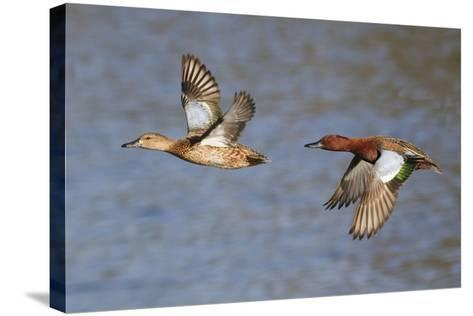Cinnamon Teal Drake and Hen Flying-Hal Beral-Stretched Canvas Print