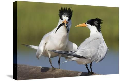 Elegant Tern Offers Fish to Potential Mate-Hal Beral-Stretched Canvas Print