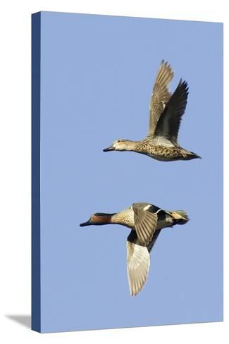 Pair of Green-Winged Teals Flying-Hal Beral-Stretched Canvas Print