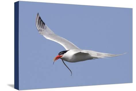 Elegant Tern Flies with Pipefish in it's Bill-Hal Beral-Stretched Canvas Print