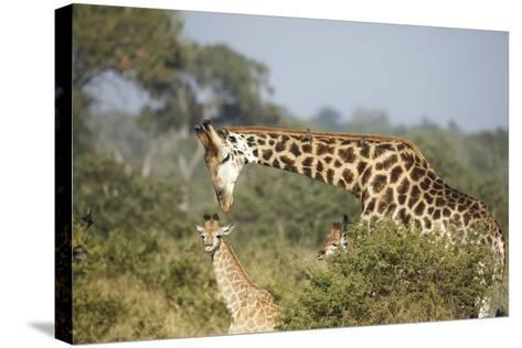 Giraffe Male and Calf-Richard Du Toit-Stretched Canvas Print