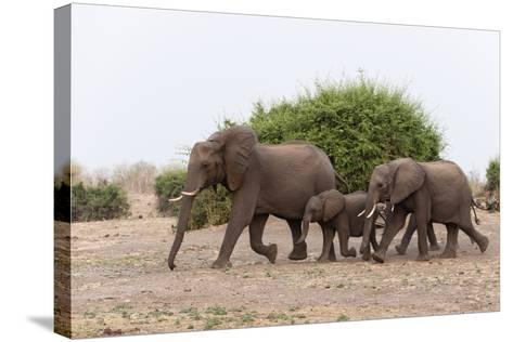 African Elephants and Calf-Sergio Pitamitz-Stretched Canvas Print