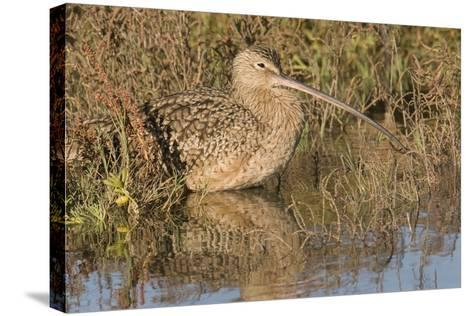 Long-Billed Curlew-Hal Beral-Stretched Canvas Print