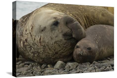 Southern Elephant Seals Mating-Joe McDonald-Stretched Canvas Print