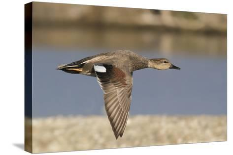 Gadwall Drake in Flight-Hal Beral-Stretched Canvas Print
