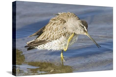 Short-Billed Dowitcher Grooming-Hal Beral-Stretched Canvas Print