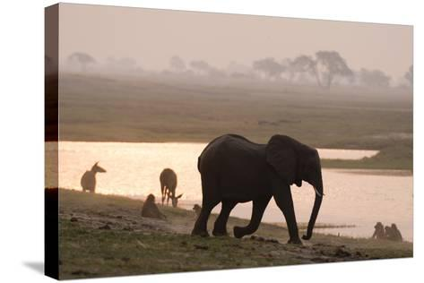 African Elephant Running to the River-Sergio Pitamitz-Stretched Canvas Print