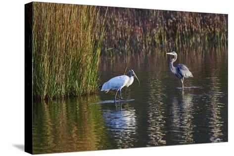 Wood Stork-Gary Carter-Stretched Canvas Print