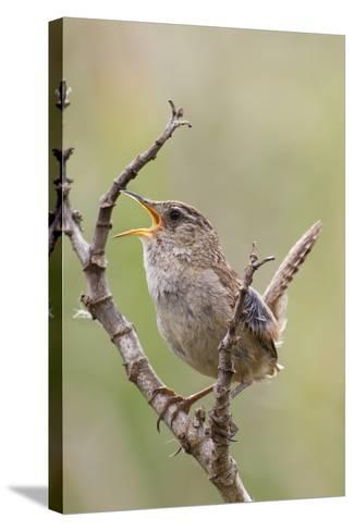 Marsh Wren Calling-Hal Beral-Stretched Canvas Print
