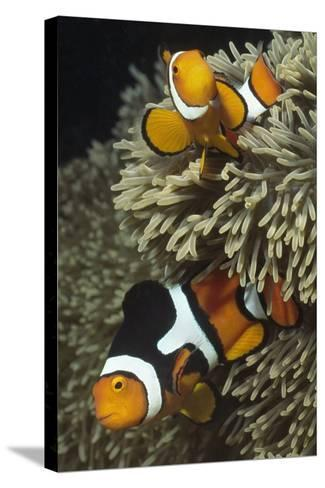 Pair of Clown Anemonefish in Sea Anemone-Hal Beral-Stretched Canvas Print