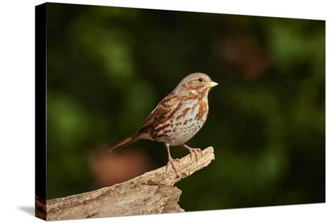 Fox Sparrow-Gary Carter-Stretched Canvas Print