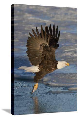 Bald Eagle Catchs a Fish in it's Talons-Hal Beral-Stretched Canvas Print