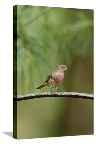 House Finch-Gary Carter-Stretched Canvas Print