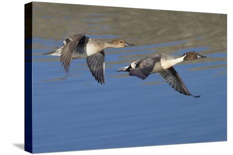 Pair of Northern Pintails in Flight-Hal Beral-Stretched Canvas Print