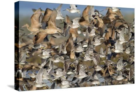Large Flock of Shore Birds Takes Off-Hal Beral-Stretched Canvas Print