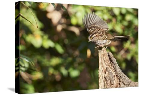 White-Throated Sparrow-Gary Carter-Stretched Canvas Print