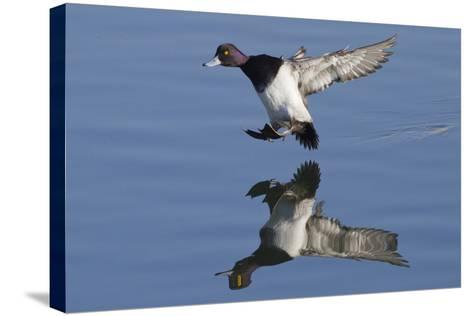 Lesser Scaup Drakes Landing-Hal Beral-Stretched Canvas Print