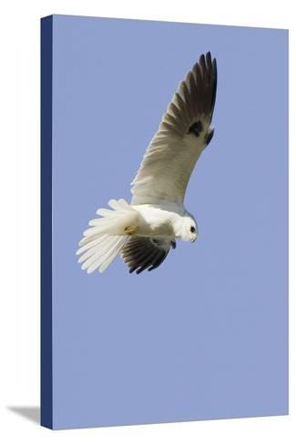 White-Tailed Kite Hunting-Hal Beral-Stretched Canvas Print