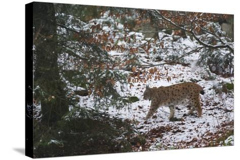 European Lynx (Lynx Linx), Bavarian Forest National Park.-Sergio Pitamitz-Stretched Canvas Print