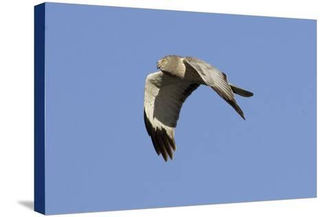 Male Northern Harrier in Flight-Hal Beral-Stretched Canvas Print