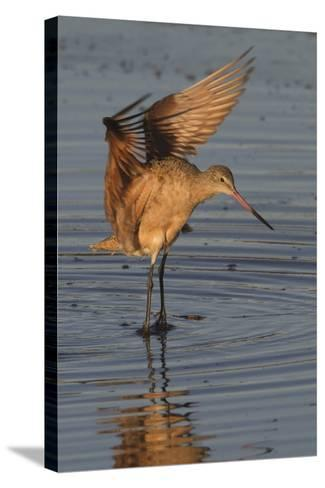 Marbled Godwit with Raised Wings-Hal Beral-Stretched Canvas Print