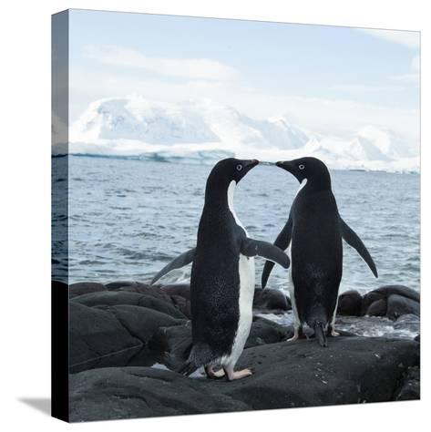 Adelie Penguin-Joe McDonald-Stretched Canvas Print