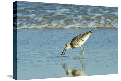 Willet;-Gary Carter-Stretched Canvas Print