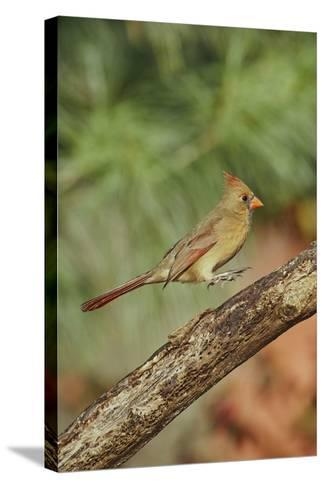 Northern Cardinal-Gary Carter-Stretched Canvas Print